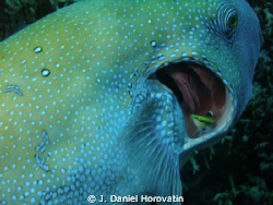 Cleaner fish at work on the gills of a large pufferfish by J. Daniel Horovatin 